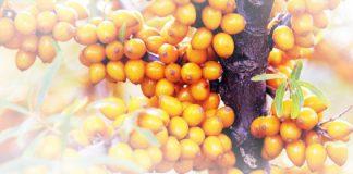 Sanddorn - die Pflanze mit der Superfrucht